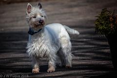MacDougall (jwfuqua-photography) Tags: dogs westie pets doogie jwfuquaphotography jerrywfuqua