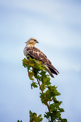 Female Light Morph Rough Legged Hawk (Saptashaw Chakraborty) Tags: canada ontario fall autumn bird wildlife roughleggedhawk hawk predator raptor migrant migration migratory female pale morph branch perched perch evening