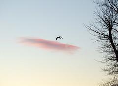 Raven over the Snake River at Sunset (scepdoll) Tags: baldeagle cattlemansbridge fall grandtetonnationalpark grandteton tetons autumn beaver clouds fir moosetracks mountains snakeriver spruce