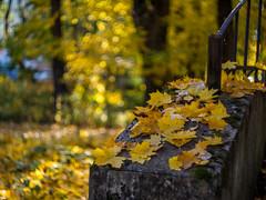 (Volvette91) Tags: ricoh gxr helios 77m4 manual focus lens soviet m42 green yellow bokeh autumn
