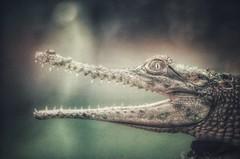 imagine dragons (***étoile filante***) Tags: alligator animal tier macro nahaufnahme nature natur bokeh bokehlicious light licht pentax