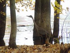 Great blue heron (Quevillon) Tags: canada québec laurentides thérèsedeblainville rosemère park parcdelarivièredesmilleîles tyleemarsh bird greatblueheron heron