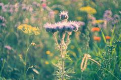 colorful meadow_02 (madtacker) Tags: outdoor natur makro detail blume flowers vintage art bokeh bubbles meyergörlitz pentaflexcolor f28 50mm nikon d800 deutschland germany