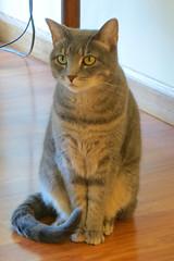 Millie 28 August 2018 0853Ri 4x6 (edgarandron - Busy!) Tags: cat cats kitty kitties tabby tabbies cute feline millie graytabby