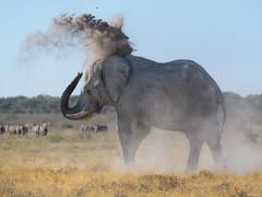 Cooling Off With Some Mud (ttarpd) Tags: republic namibia southern subsaharan africa safari nature wild wildlife etosha national park salt pan waterholes game reserve animal animals african elephant loxodonta trunk tusk tusks large ears