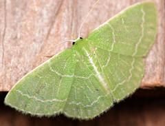 wavy-lined emerald (ophis) Tags: lepidoptera geometroidea geometridae geometrinae synchlorini synchlora synchloraaerata wavylinedemerald
