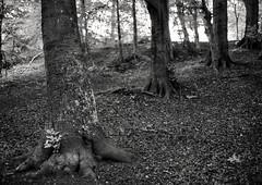 Quad (Svendborgphoto) Tags: tree woods wideangle 35mm14 bokeh bw blackandwhite denmark d800 dof nikkor nikon ais 35mm f14