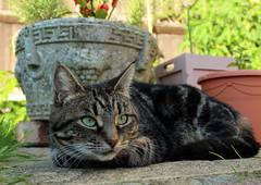 Cat in the Garden (iwys) Tags: cat garden pots ground watching green eyes tabby alert pink nose cats eye view level