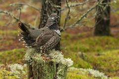 7679 (Les Piccolo) Tags: spruce grouse northern ontario canada nikond500 male