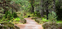 Rothiemurchus Forest (M McBey) Tags: forrest trees path arbour green fern pine
