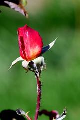 Róża. (andrzejskałuba) Tags: polska poland pieszyce dolnyśląsk silesia sudety europe plant panasoniclumixfz200 roślina red róża rose zieleń green garden ogród macro natura nature natural natureshot natureworld color beautiful kwiat flower