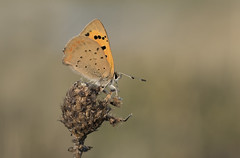 Small Copper (Lycaena phlaeas). (Bob Eade) Tags: smallcopper lycaenidae butterfly fauna copper autumn evening seaford southdownsnationalpark sussex eastsussex europeanbutterflies macro bokeh roosting