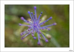 ¿Subes o bajas? (V- strom) Tags: macrophotography macro macrofotografía macrodeflora verde green violet violeta plant planta estambres stamens texturas textures nikon nikond700 nikon105mm vstrom primavera springtime luz light