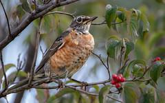 American Robin (Lynn Tweedie) Tags: trees beak feathers bird 7dmarkii sigma150600mmf563dgoshsm canon missouri green eos eye ngc animal