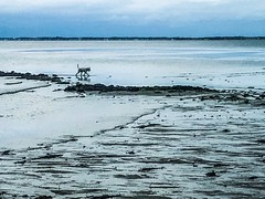 Dog (ZoKë) Tags: cornhill bay sandflats sand lowtide dog