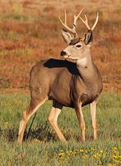 Mule Deer (Circled Thrice) Tags: deer muledeer mammal rma rockymountainarsenal nationalwildliferefuge nwr wild wildlife nature natural park urbanpark denver aurora commercecity grassland prairie refuge colorado co canon eos rebel t5i 300mm