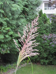Tall grass (jamica1) Tags: ornamental grass kelowna bc british columbia canada okanagan