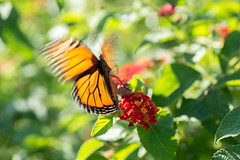 Butterfly (Phet Live) Tags: phet live nikon d600 tamron 90mm f28