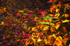 Survivor (NickLesta) Tags: leaf automn nature tree colour hungary magyarorszag green orange red forest
