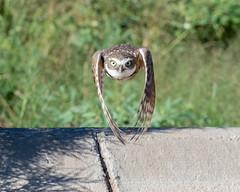Burrowing Owl Approach (dan.weisz) Tags: owl burrowingowl bird raptor marana tucson