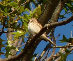 Vesper Sparrow (Dendroica cerulea) Tags: vespersparrow pooecetesgramineus pooecetes passerellidae passeroidea passerida passeri passeriformes psittacopasserae eufalconimorphae aves birds sparrow songbird autumn donaldsonpark highlandpark middlesexcounty nj newjersey