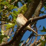 Vesper Sparrow thumbnail