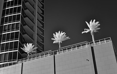 Three Palms (infrared) (dr_marvel) Tags: ir infrared houston tx texas blackandwhite bw trees palms condos highrise residences building lines windows