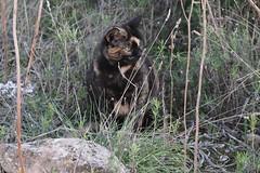 IMG_0601 Lola, Mallorca (Fernando Sa Rapita) Tags: lola cat gato gatita mascota pet canon canoneos sigma sigmalens mallorca sarapita