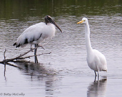 Wood Stork (Mycteria americana) and Great Egret (Egretta alba) (Betsy McCully) Tags: floridabirds spacecoastbirds storks egrets woodstork mycteriaamericana greategret egrettaalba