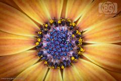Flower Macro (Baljinder.Gill) Tags: macro macronature macrophotography macroflower nikon nature naturephotography naturemacro flowers flower flowerphotography flowermacro