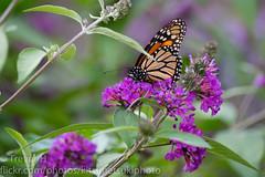 Monarch 1 (Kenjis9965) Tags: sonya7iii 150600mmf563dgoshsm|c sigma 150600mm f563 dg os hsm c contemporary mc11 converter sony a7 mark iii a7iii monarch butterfly bush feeding beautiful damaged wing nature insect flying