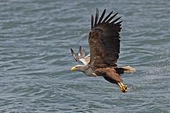 White tailed Eagle (Stephen B53) Tags: catchingfish fish bird raptor