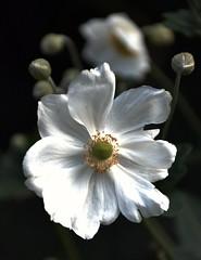 Never Forget (barbara_donders) Tags: natuur nature fading memory herinnering wit white macro flower bloem mooi prachtig beautiful beauty magical vergeten