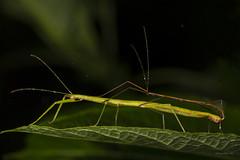 Sticks mating (AkDExplorer) Tags: westernghats insects insectphotograpy nikon d850 wildlife macromania macro sticks green monsoon kerala india explore munnar naturalhistory natgeomoment