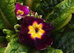 DSC_1844 Primrose (PeaTJay) Tags: nikond750 sigma reading lowerearley berkshire macro micro closeups gardens outdoors nature flora fauna plants flowers primrose