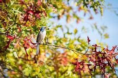 California Scrub Jay (C-Brese Photography) Tags: aphelocomacalifornica california scrub jay western californiascrubjay westernscrubjay cbrese bird oregon wildlife