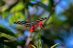Damaged (ACEZandEIGHTZ) Tags: zebra longwing insect flying bokeh bright colors nikon d3200 nature butterfly heliconius charithonia red flower damaged wing coth coth5 sunrays5 alittlebeauty