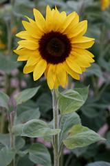 Single and happy (HansPermana) Tags: undeloh niedersachsen lowersaxony deutschland germany norddeutschland september summer 2018 sommer heide lüneburgerheide blumen natur sonnenblumen sunflowers