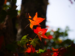 逆光 (*泛攝影*) Tags: green 戶外 景深 panasonic gx7 color 探索 dof 台灣 taiwan 植物 性質 nature inexplore 葉 楓 光 影