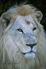White Lion (yadrad) Tags: whitelion lion pantheraleo bigcats cats bigcatsanctuary ngc animal carnivore