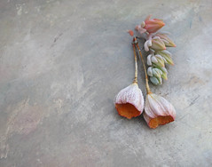 blossom dance earrings by greybirdstudio (greybirdstudio) Tags: greybirdstudio isle skye' scotland artisan adornment artist bead ceramic clay craft pod organic nature blossom jewellery porcelain etsy succulents echeveria