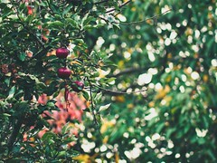 Garden Apple Bokeh  Tarbek - Schleswig-Holstein - Germany (torstenbehrens) Tags: garden apple bokeh tarbek schleswigholstein germany