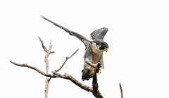 7K8A8255 (rpealit) Tags: scenery wildlife nature state line lookout peregrine falcon bird