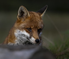 Fox (Nigey2) Tags: wildlifephotographer animal nigelrobinson redfox canon fox countryside farm