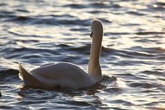 IMG_7872 (pekka.jarvelainen) Tags: joutsen swan vene auringonlasku sunset