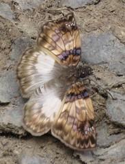 Mylon zephus (Birdernaturalist) Tags: bolivia butterfly erynnini hesperiidae lepidoptera pyrginae richhoyer skipper