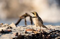 Ohrenlerche am Strand von Helgoland / Horned Lark (Fotännie) Tags: eremophilaalpestrig helgoland herbst hornedlark lark lerchen nordsee northsea ohrenlerche shorelark singvögel sperlingsvögel vogel