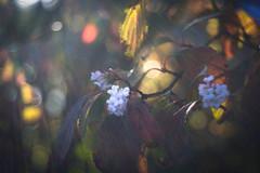 October Flowers (ursulamller900) Tags: trioplan2950 viburnum vintagelens winterschneeball mygarden bokeh autumn herbst handheld manualfocus