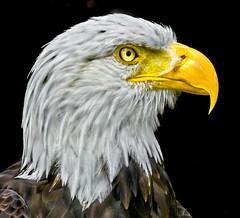 Bald Eagle Profile (adrians_art) Tags: baldeagle raptor birdofprey usa america