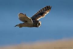 Short-eared Owl (Kingfisher1951 David Ward) Tags: owls shortearedowl